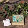 くすの木しょうのう: